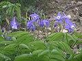Aquilegia flabellata var. pumila ミヤマオダマキ(深山苧環)礼文島 6250207.JPG