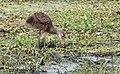 Aramus guarauna (Limpkin) 21.jpg
