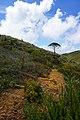 Araucária na trilha do Pico da Bandeira.jpg