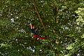 Arboricultur Kletternde Baumpflegerin Tree Climber.JPG
