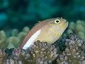 Arc-eye hawkfish (Paracirrhites arcatus) (48279219212).jpg