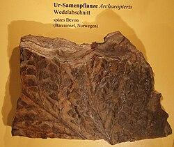 Archaeopteris.JPG