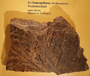 Progymnosperm - Archaeopteris fossil leaves