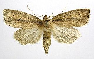 <i>Archanara dissoluta</i> Species of moth
