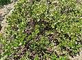 Arctostaphylos tomentosa ssp insulicola 1.jpg