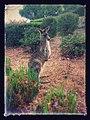 Armidale Kangaroo.jpg