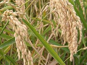 Oryzoideae - Rice (Oryza sativa)