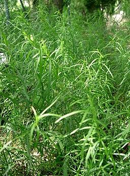 Artemisia dracunculus1