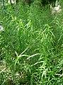 Artemisia dracunculus1.jpg