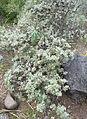 Artemisia thuscula kz1.JPG