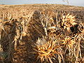 Artichoke-field cyprus hg.jpg