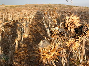 Agriculture in Cyprus - Artichoke field near Troodos Mountains