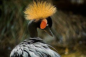Balearica pavonina Black Crowned Crane