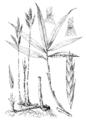 Arundinaria tecta HC-1950.png