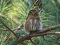 Asian Barred Owlet (Glaucidium cuculoides) (39810288541).jpg