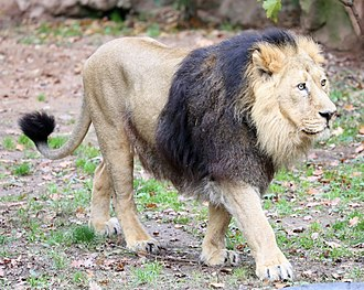 Asiatic lion - Male