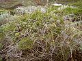 Asparagus umbellatus (La Fajana) 01 ies.jpg