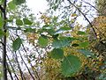 Aspen (Populus tremula) leaves and stalks.JPG