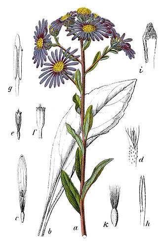 Asteroideae - Illustration of Aster amellus from tribe Astereae