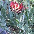Astragalus cedreti.jpg