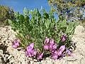 Astragalus megacarpus in flower.jpg