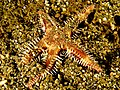 Astropecten polycanthus (Starfish).jpg