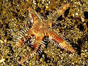 Astropecten polyacanthus - Image: Astropecten polycanthus (Starfish)