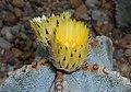 Astrophytum myriostigma 2016-05-17 0344c.jpg