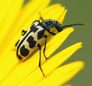 Astylus atromaculatus - Image: Astylus atromaculatus Coetze 2