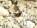 Atalanta-lepke (Vanessa atalanta)3.JPG