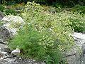 Athamanta cretensis 920.JPG