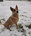 Australian cattle dog Haris and snow.jpg
