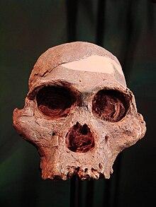 Australopithecus africanus face2 (University of Zurich).JPG