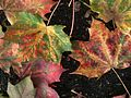 Autumn Leaves by NeilK 08.JPG