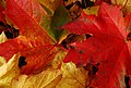 Autumn leaves, Belfast - geograph.org.uk - 1537931.jpg