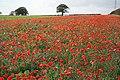 Autumn poppies - geograph.org.uk - 1538954.jpg