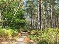 Autumn sunshine, Wigginholt Common - geograph.org.uk - 1527101.jpg