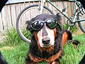 Ava is a cyclist and English Shepherd in Fort Collins, Colorado - panoramio.jpg