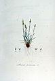 Avena praecox — Flora Batava — Volume v7.jpg