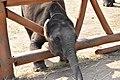 BABY ELEPHANT in a camp.jpg