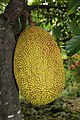 BB yack fruit philippines 2 jackfruit.jpg