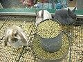 Baby rabbits at Serramonte Pet Shop 2.JPG