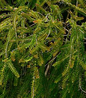 <i>Triplarina imbricata</i> Species of flowering plant