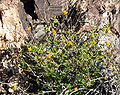 Bahiopsis parishii 1.jpg