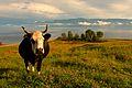 Baikals cow (6088739778).jpg