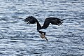 Bald eagle with catch conowingo (14277077384).jpg