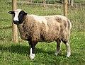 Balwen Welsh Mountain Sheep (49390421817).jpg
