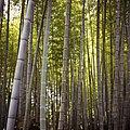 Bamboo (24145729).jpeg
