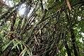 Bambusa ventricosa 3zz.jpg