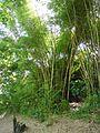 Bambusa vulgaris Schrad. ex J.C.Wendl. - La Lagunita 2013 007.jpg